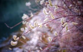 Обои ветка, весна, верба