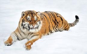 Обои лежит, хищник, природа, зима, морда, на снегу, тигр, клыки, оскал