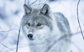 Картинка зима, глаза, снег, волчица, взгляд