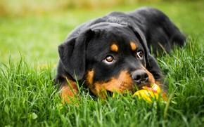 Обои зелень, трава, глаза, взгляд, морда, природа, фон, друг, поляна, черный, игрушка, игра, портрет, собака, щенок, ...