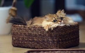 Картинка кошка, кот, корзинка, киса