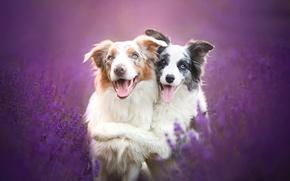 Обои лаванда, друзья, Бордер-колли, собаки, дружба, цветы