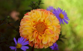 Картинка хризантемы, георгина, Georgina, Боке, Bokeh, Chrysanthemum, Желтый цветок, Yellow flower