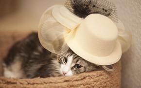 Обои шляпа, кошка, мадам