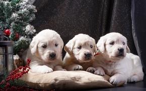 Картинка щенки, Новый год, ёлка, белые, трио, ретривер, декор