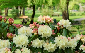 Картинка Цветы, весна, Азалии, цветение куст