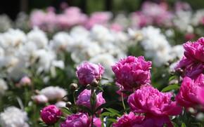 Картинка белый, розовый, пионы