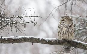 Картинка зима, сова, птица, ветка, Канада