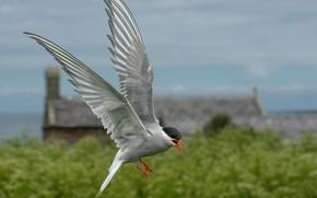 Картинка полет, птица, крылья, клюв, полярная крачка