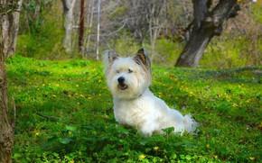 Картинка Трава, Собачка, Dog, Grass, Вест-хайленд-уайт-терьер