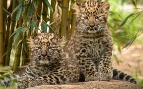 Картинка котята, парочка, леопарды, детёныши