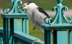 Картинка птицы, обыкновенная кваква, ночная цапля