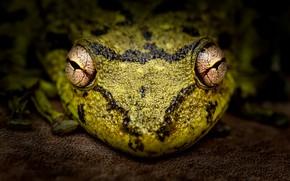Картинка макро, лягушка, Scinax fuscovarius