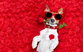 Картинка цветок, фон, роза, фотошоп, мокрая, юмор, очки, лежит, красная, лепестки роз, Джек-рассел-терьер