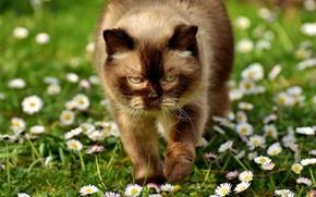 Обои кот, глаза, британская короткошёрстная, лето, упитанная, ромашки, маргаритки, свет, портрет, солнечно, кошка, лужайка, зелень, тепло, ...