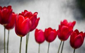 Картинка весна, лепестки, сад, тюльпаны