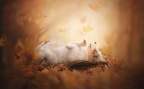 Обои боке, пёсик, Аусси, щенок, Австралийская овчарка, осень, листья
