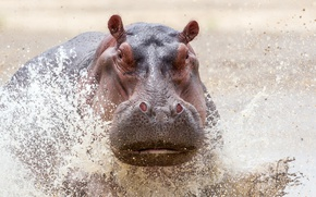 Обои Zambia Wildlife, Safari, Charging Hippo