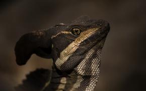 Картинка природа, ящерица, василиск, Jezus Christ Lizard, Basiliscus basiliscus