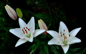 Картинка макро, природа, лилии, лепестки