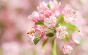 Картинка макро, вишня, пчела, цветение, цветки, боке
