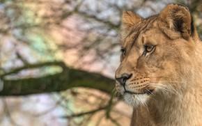 Обои кошка, животные, взгляд, морда, ветки, природа, фон, портрет, лев, дикие кошки, львица