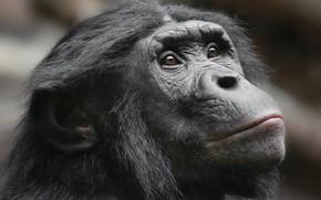 Обои природа, обезьяна, взгляд