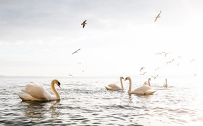 Картинка птицы, озеро, лебеди