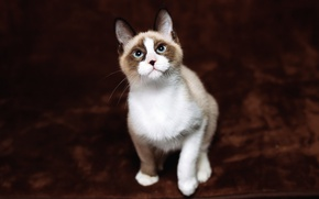 Картинка кошка, кот, взгляд, фон, темный, пятна, котёнок, голубые глаза, мордашка, сидит, милашка, пятнистый, красавчик, голубоглазый, …