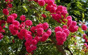 Картинка листья, роза, лепестки, бутон, rose, цветение, leaves, petals, blossoms, Bud
