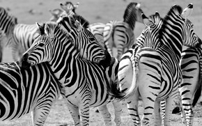 Картинка зебра, Африка, стадо