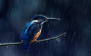 Обои брызги, дождь, зимородок, капли, птица, ветка