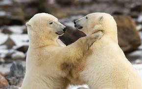 Картинка разборки, Белые медведи, два медведя, Полярные медведи