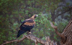 Картинка дерево, птица, хищник, Австралия, орел клинохвостый