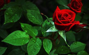 Обои цветок, роза, куст, красная, бутоны