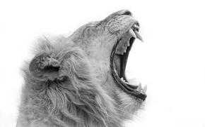 Обои зверь, лев, пасть