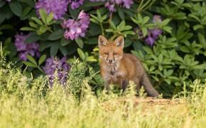 Картинка трава, лиса, рыжая, кусты, лисёнок, рододендроны
