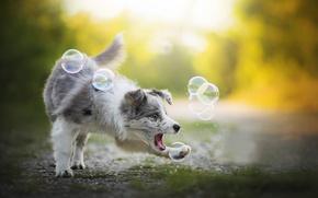 Обои Австралийская овчарка, Alice, мыльные пузыри, Аусси, игра, собака