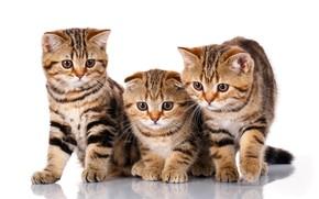 Обои шотландский вислоухий, порода, котята, трио