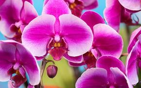 Картинка макро, лепестки, Орхидея, Фаленопсис