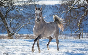 Картинка поза, серый, конь, лошадь, бег, грация, позирует, игривый, (с) OliverSeitz