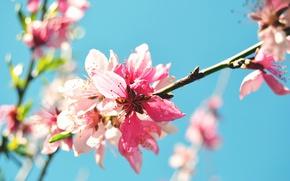 Картинка цветок, макро, природа, весна, ветвь, цветение, персиковое дерево