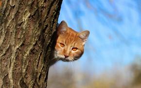 Обои взгляд, рыжий, ствол, кот