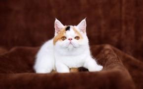 Картинка кошка, белый, взгляд, котенок, фон, малыш, милый, ткань, плед, котёнок, мордашка, сидит, коричневый, милашка, розовый ...