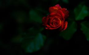 Картинка роза, бутон, красная роза, тёмный фон