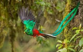 Обои птица, Коста-Рика, кетцаль, самец