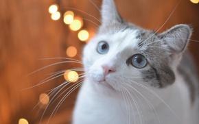 Картинка кошка, взгляд, мордочка, голубые глаза, боке