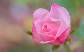 Картинка макро, розовый, роза