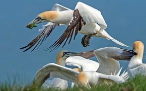 Картинка птица, крылья, клюв, северная олуша