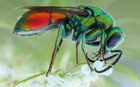 Картинка глаза, макро, цветы, поза, фон, оса, лапки, насекомое, красотка, зеленая, радужная, блестящая, блестянка
